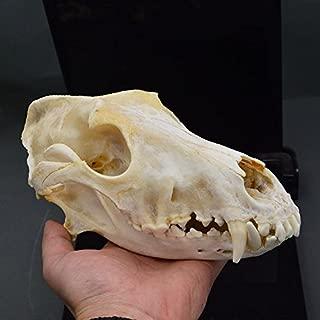 Hot Dog Skull Taxidermy Supplies Art Bone Vet Medicine 1:1