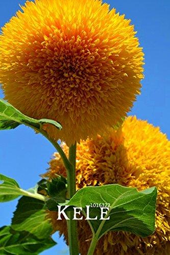 Ferry Neue Frische Teddybär Sonnenblumen Plantas Sunflower floresling Balkon Topfpflanzen Gartenbonsai Blumen Plante Leicht zu Pflanze 10p