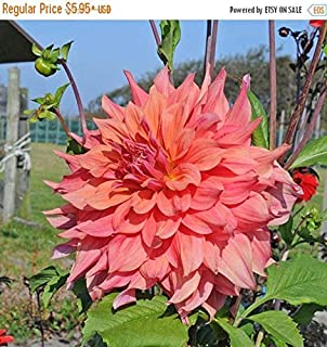 dinner plate dahlias for sale