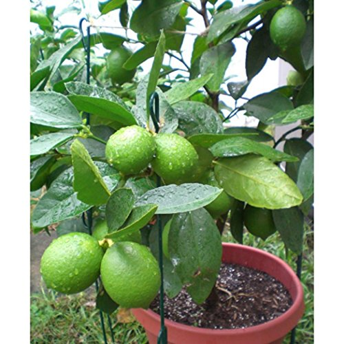 Pinkdose Bluelans 10Pcs Lime Seeds Tropical Citrus Fruit Tree Farm Balcony Garden Yard Plant