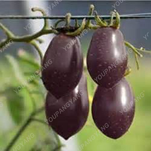 1 paquet de 100 graines/Paquet vivace tomate arbres géants serre en plein air disponibles Tomate Heirloom Seeds En Bonsai Livraison gratuite Deep Blue