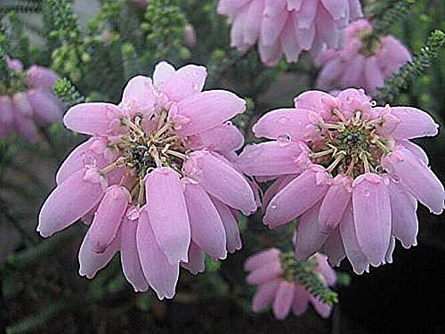 Stk - 10x Erica baccans Heidekraut Zimmer Garten Pflanzen - Samen B1426 - Seeds Plants Shop Samenbank Pfullingen Patrik Ipsa