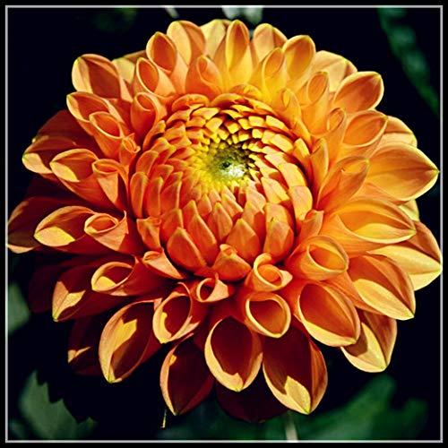 Dahlien Zwiebeln - Die Im Garten Gepflanzt Werden Können,Zier, Geheimnisvoll,Blumenbeet, Weltberühmt-1 Zwiebelns