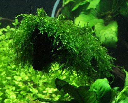 WFW wasserflora Trauermoos/Vesicularia ferriei Weeping Moss in Einer 125ml Dose
