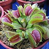 Dyyicun12 20 semillas de carnívoro Dionaea Muscipula gigante Clip Venus Flytrap