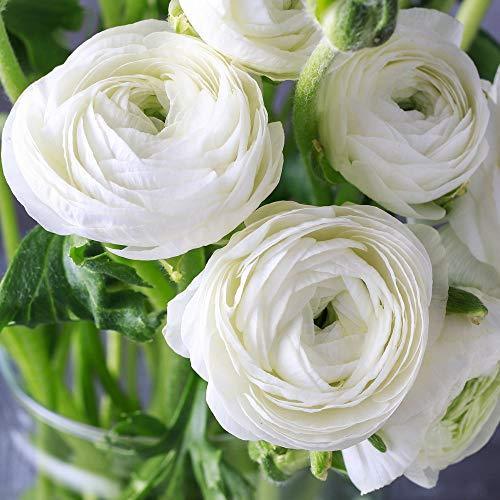 UtopiaSeeds 12 White French Peony Ranunculus Corms