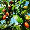 Bshopy 10pcs de jujube fruits Graines Véritables jujube de graines exotiques Bonsaï naturel Sain beau facile Délicieux organique Vivace plante grandir #1