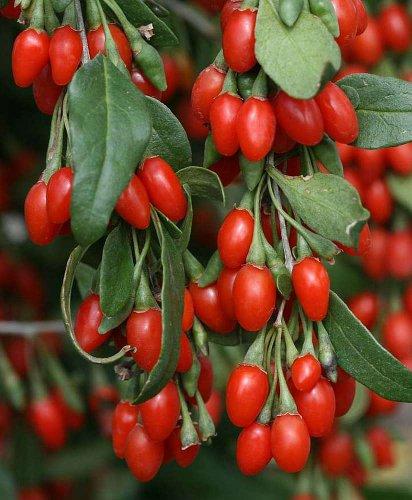 Asklepios-seeds® - 80 Samen der echten Goji-Beere, Lycium barbarum, Chinesische Wolfsbeere, Bocksdorn