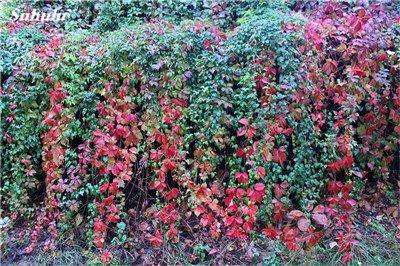 Mélanger Boston Seeds 100% vrai Parthenocissus tricuspidata semences Plantes d'extérieur QUASIMENT soins décoratifs Escalade usine 100 Pcs 2