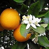 レモン スイートレモネードの苗木 15cmポット【果樹苗 2年生 接木苗/1本】(鉢植えなのでほぼ年中植付け可能)手で皮がむけ そのまま食べられる甘いレモン!実つきもよく 寒さにも強く育てやすい!鉢植えにしてベランダ栽培も可能!苗木の耐寒温度は-4℃程度です。生育温度:12~30℃。(耐寒性はあくまで目安です。毎年の気候や地域により変わります)自社農場から新鮮苗直送 【即出荷】