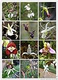 Orquídeas raras del mundo 20 semillas / paquete orquídeas color mezclado, orquídeas en maceta
