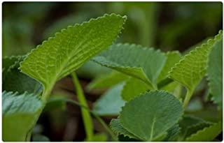 Tree26 Indoor Floor Rug/Mat (23.6 x 15.7 Inch) - Indian Borage Ajwain Ayurveda Plant Green Nature