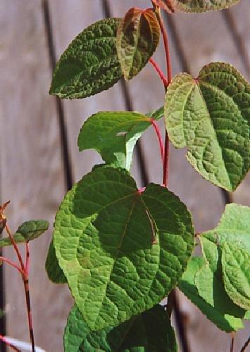 TROPICA - Arbre pain d'épice (Cercidiphyllum japonicum) - 200 graines- Résistant au froid