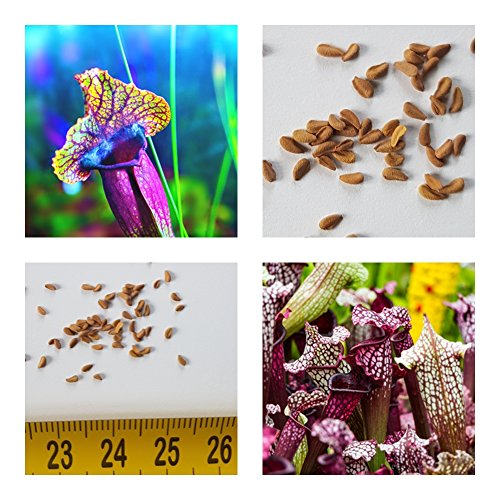 Schlauchpflanze rot - Sarracenia purpurea - ca. 20 Samen - fleischfressende Pflanze !!-