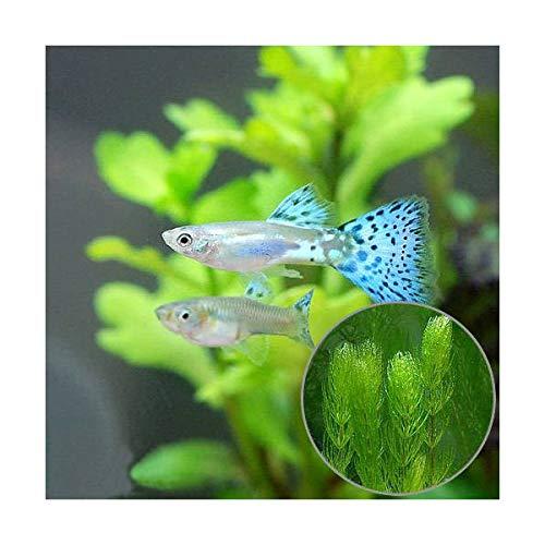 (熱帯魚)(水草)ブルーグラスグッピー(国産グッピー)(1ペア)+マツモ(3本) 北海道航空便要保温