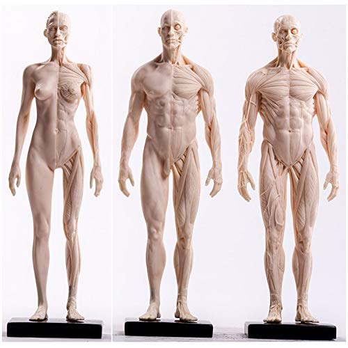 FHUILI Human Anatomy Altura - Femenino y Masculino musculoesqueléticos anatomía Modelo - Muscular Humana anatómica del Hueso Modelo - PU Material - Médico para estudiar Dibujo del Artista,B