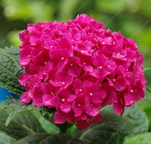 20pcs / pack Red Hydrangea mélange de graines hortensia Fleurs Accueil Plante Bonsai Viburnum Graines de fleurs plante pour jardin
