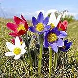 Oce180anYLVUK Semillas, 100 Piezas/Bolsa Semillas De Pulsatilla Perenne Buena Cosecha Color Mezclado Semillas De Flores De Plantas Fáciles Para Balcón Semilla
