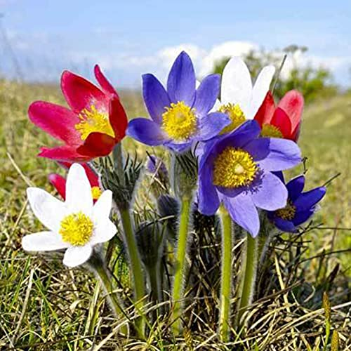 Benoon Blumensamen 100 Stück/Beutel Pulsatilla-Samen Staude Gute Ernte Mischfarbe Einfache Pflanze Blumensamen Für Balkon Samen