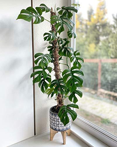 SmartMe Live Plant - Rhaphidophora Tetrasperma Live Plant, Mini...