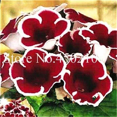 Kalash New 60pcs Gloxinie Blumensamen für Garten Weiß Rot 1