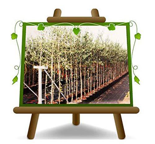 Olivier Olivenbaum Oliven Leccino - Obstpflanze Baum max 160-3 Jahre Anbau Italien