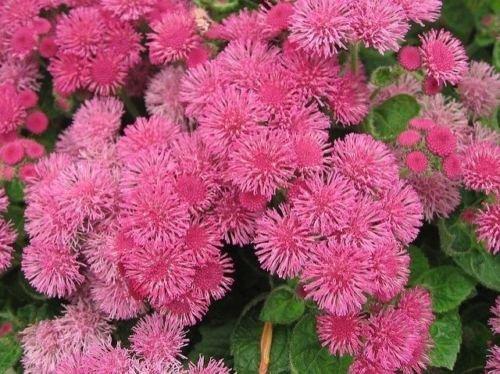 Semillas de flores hilo dental, ageratum houstonianum, Cloud Nine Rosa-PEL, variedad temprana (100 semillas)