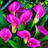 Pinkdose Blumenzwiebeln