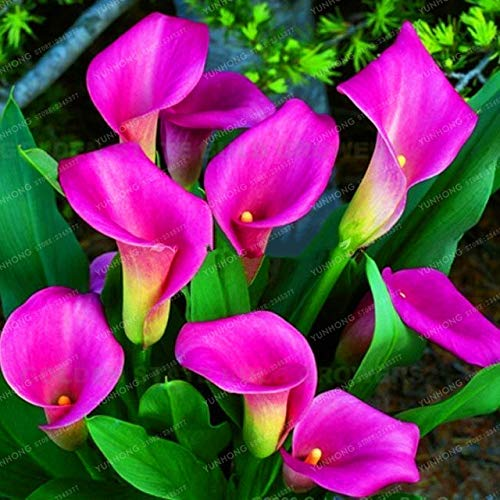 Pinkdose 1 Blumenzwiebeln in verschiedenen Farben, echte Calla-Lilien, symbolisiert Liebe, elegante Noble Blume (Calla-Lilie, Bonsai): 14