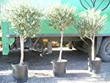 Olivenbaum - Olea europea -