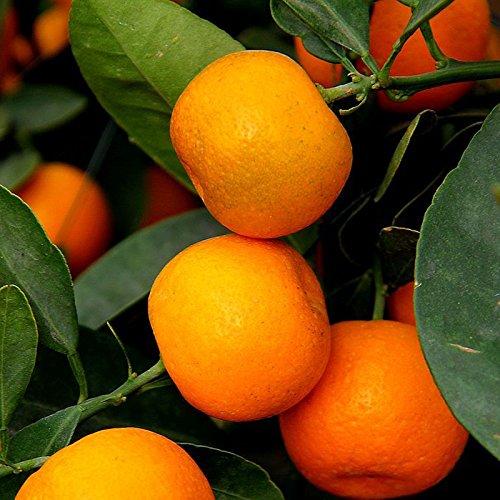 Inovey 30 Pcs Fruits comestibles Mandarin Bonsaï Arbre Graines Citrus Graines Bonsaï Mandarin Orange Graines
