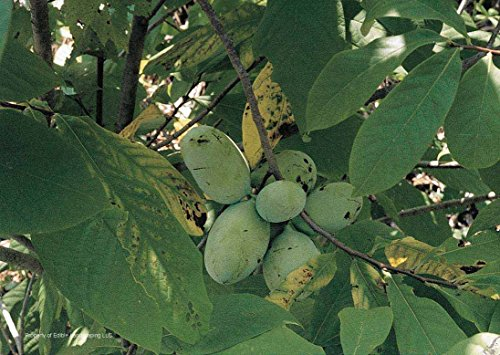 GEOPONICS Kwansan Cherry: Paw Paw Tree 10 Fresh Cuttings Plus More Trees and Shrubs Root Your Own