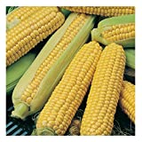 Desi Commodity Hybrid Maize Sweet Corn Quality Seeds (pack of 50 seeds)