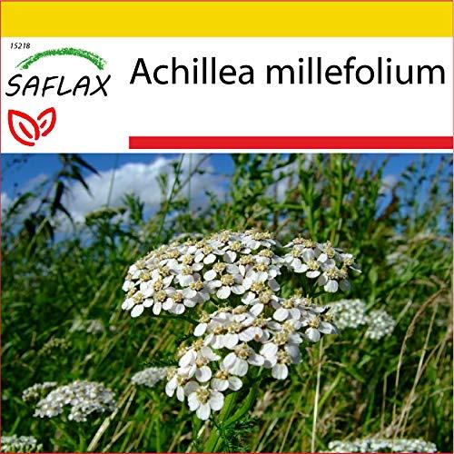 SAFLAX - Set per la coltivazione - Achillea millefoglie - 200 semi - Achillea millefolium