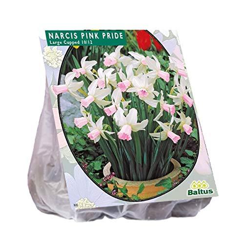 Narcis Mini Pink Pride 20 Stück Osterglocken Narzissen Blumenzwiebel