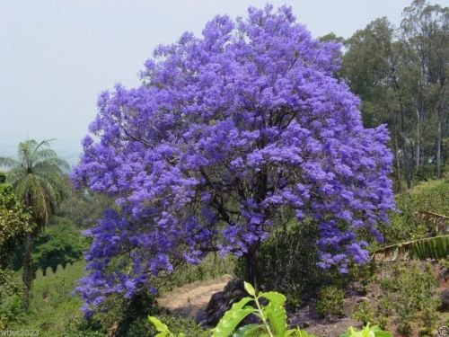 Graines Jacaranda arbres, fleurs, flamboyant bleu bleu lavande magnifique