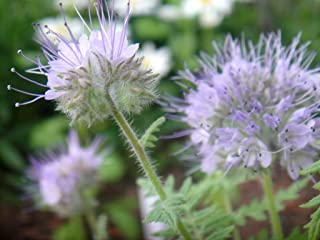 HOT!! - 300 Purple Tansy Lacy Fiddleneck Phacelia Flower Seeds