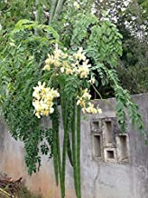 Rain Forest Hybrid Moringa oleifera Drumstick (20 Seeds Pack : Hybrid Long Variety) Vegetables