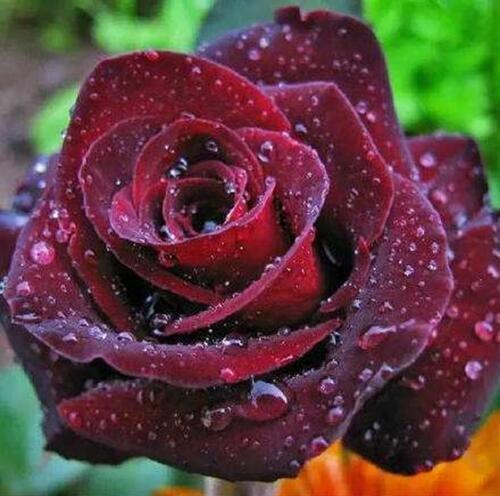 50 Graines Rose Noire - avec bord rouge, couleur rare, jardin de fleurs vivaces populaires Semences Bush ou Bonsai Fleur 9