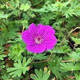 Geranium sanguineum x psilostemon 'Tiny Monster' - Blutstorchschnabel, im 0,5 Liter Topf, purpurviolett blühend