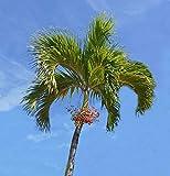 UEYR Christmas Palm Manila Palm Adonidia Veitchia merrillii Organic 15 Seeds