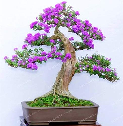 SANHOC 50pcs Weißer Flieder Bonsai (Extremely Fragrant) Nelke Blume Syzygium Aromaticum Bonsai für Haus und Garten: 1