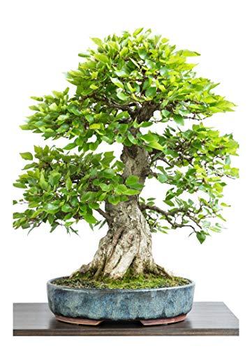 Bonsai - Koreanische Hainbuche - Freilandbonsai - 25 Samen (Carpinus coreanus)