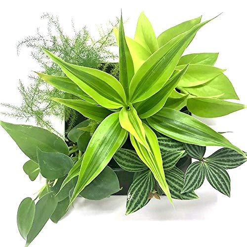ミドリエデザイン 土を使わない 壁掛け 観葉植物 FRAME ホワイト 給水ボトル付き (ドラセナ サンデリアーナゴールド)