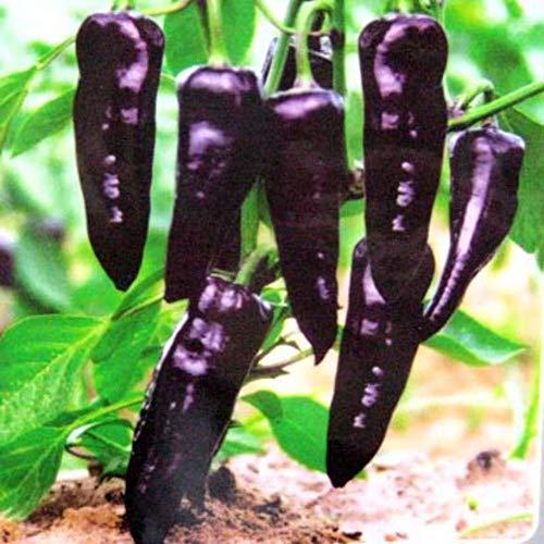 100 graines de poivre noir graines de légumes biologiques, balcon en pot plante, bonsaï fleurs graines maison jardin fleurs en plein air plante ornementale