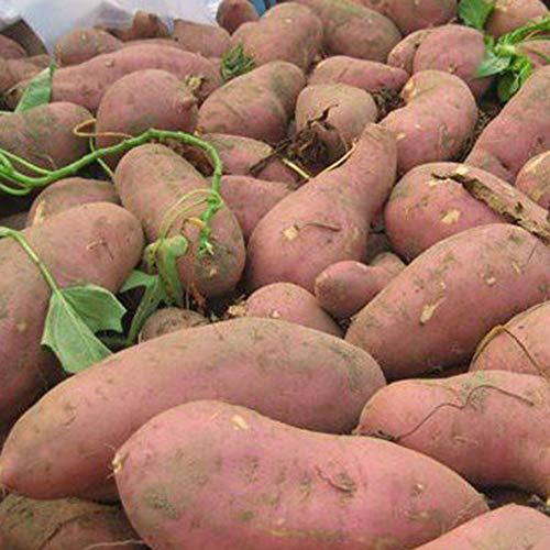 CFPacrobaticS 20Pcs Sweet PotaSeeds Bonsai Delicious Fruit Vegetable Batata Easy Grow, Home...