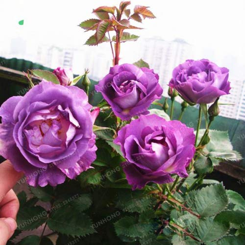 100Pcs Purple Rose Climbing Rose Seeds Perennial Flower Garden Decor Home Plant - Ship from US by US Seller.