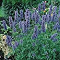 Outsidepride Catmint - Blue