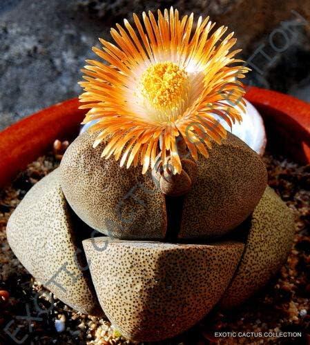 AuthenticReborn - Rare PLEIOSPILOS mesembs Rock NELII Max 47% OFF 25% OFF Succulent