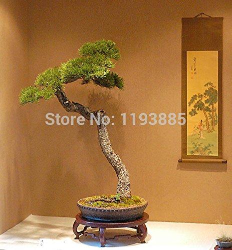 1,22 $ obtenez 30 japonais bonsaï pin graines d'arbres et 5 rares graines chêne bonsaï seulement sur vendredi noir